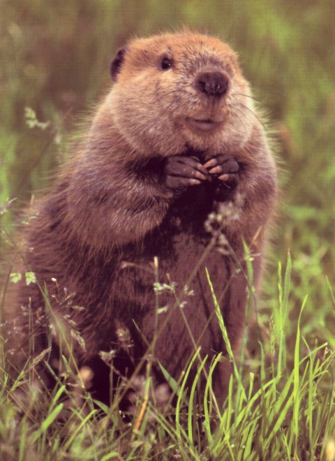 I Love Beavers So Cute On Pinterest Beavers Baby